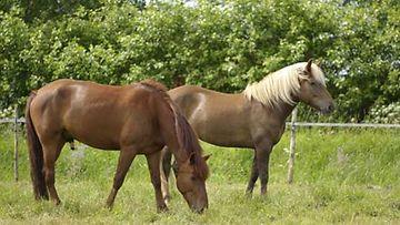 Hevoset hyötyvät akupunktiosta.