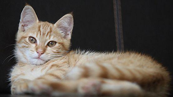 Japanilaiset uskovat kissojen ryhtyvän siivoojiksi mielellään.