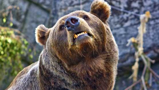 Karhunmetsästys on hurjaa puuhaa.