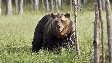 Karhun kohtaaminen on epätodennäköistä.