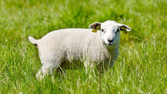 D-vitamiini valmistetaan lampaanvillasta.