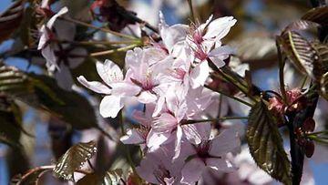 Japani tunnetaan kirsikkapuistaan.
