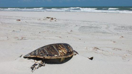 Kuollut kilpikonna makaa hiekalla.