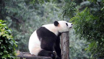 Isopanda Pekingin eläintarhassa.