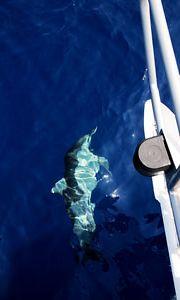 Delfiini ui laivan vieressä.