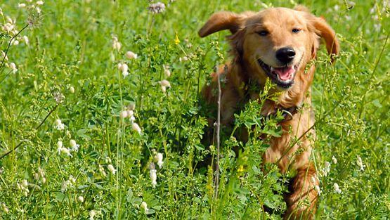 Luonnossa koheltava koira voi saada käärmeen pureman tai ampiaisen piston.