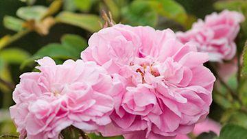 Romanttinen ruusu on puutarhan ikisuosikki.