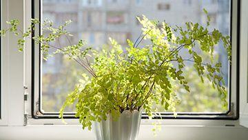 Viherkasvit paitsi näyttävät kauniilta myös puhdistavat sisäilmaa.
