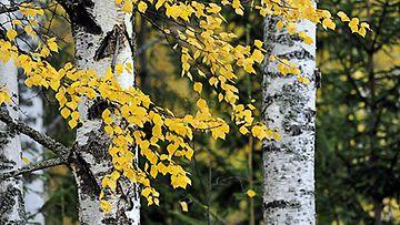 Puustoon sitoutuu kasvukauden aikana hiiltä.