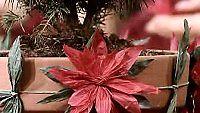 Sinooperi: paperikukka (joulutähti)