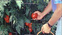 kypsiä tomaatteja poimitaan koriin