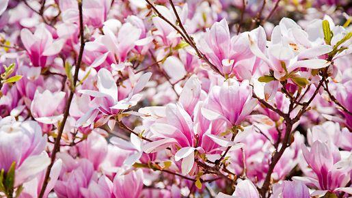 Upea magnolia viihtyy myös Suomessa, kunhan olosuhteet ovat oikeat.