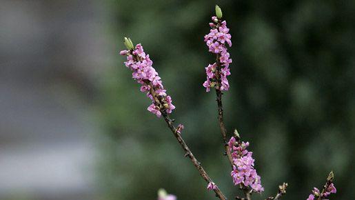 Näsiä (Daphne mezereum) on erehtynyt kukkimaan Kaisaniemen kasvitieteellisen puutarhan pihassa tammikuussa 2007.