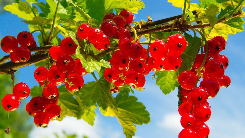 Punainen Viinimarja