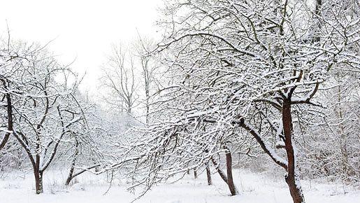 Hedelmäpuut kaipaavat leikkaamista helmi-maaliskuussa.