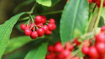 Kardisia on muiden marjaisten kasvien ohella yksi nousevista suosikeista.