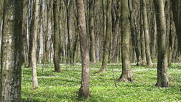 Valkovuokko valtaa keväiset metsät.