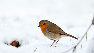 Veikeä punarinta viihtyy puutarhassasi myös talvella.