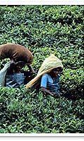 Perulaisia kahvin poimijoita
