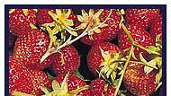 mansikoita