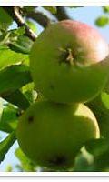Omena päivässä pitää lääkärin loitolla
