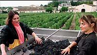 Viinirypäleidenlajittelua