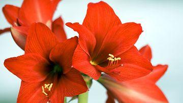 Punainen amaryllis on yksi näyttävimpiä joulukukkia.