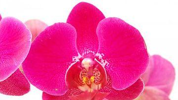 Orkidea tarvitsee hellää huolenpitoa ja ravinteita.