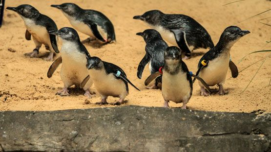 Sinipingviini