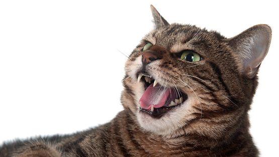 Kissa Sähisee