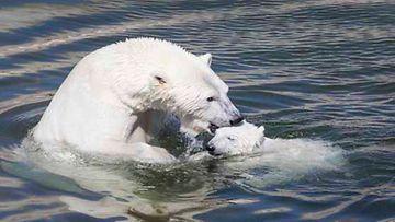 Ranuan eläintarhan uusi jääkarhunpentu leikkii.
