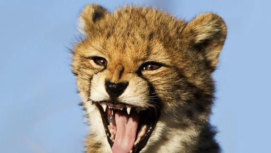 Miltä gepardinpentu kuulostaa?
