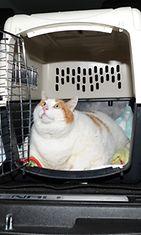 Meow-kissa saattaa olla maailman painavin kissa.