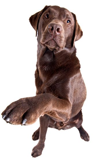 Labradorinnoutaja Luonne