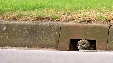 Eläimet alittavat autotien ovelalla tavalla Rugbyssa, Warwickshiressä.