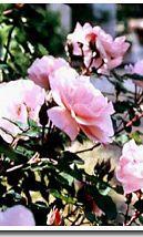 Ruusuja, ruusuja...