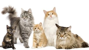 Mikä kissarotu sopii sinulle?
