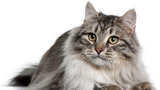 Siperian Kissa