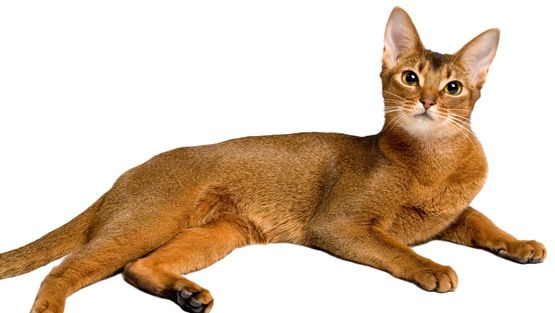 abessinialainen kissanpentu