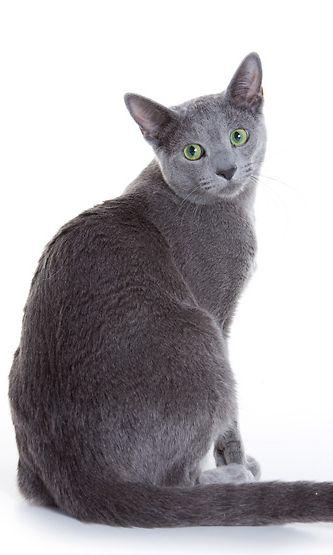Kissan Munuaisten Vajaatoiminta