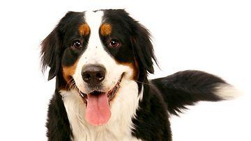 Mitä koira viestittää hännä heiluttamisella?