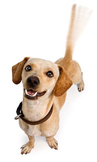 Onko häntää heiluttava koira onnellinen?