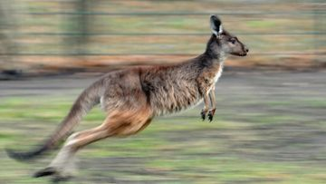The kangaroo Hagen jumps through his enclosure at the zoo in Berlin, Germany, 10 January 2012