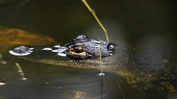 alligaattori_everglades_Getty.jpg