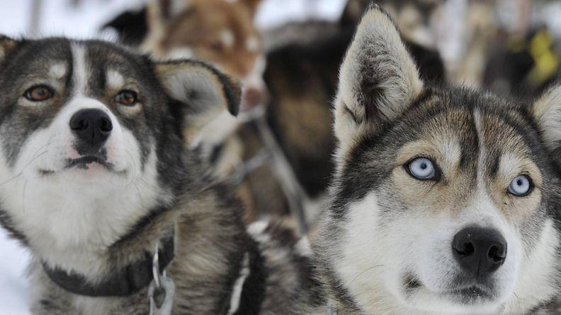 Husky-koiria