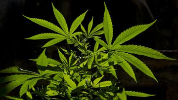 Kannabis Lailliseksi Suomessa 2021
