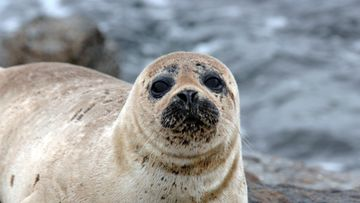 •Seal portrait