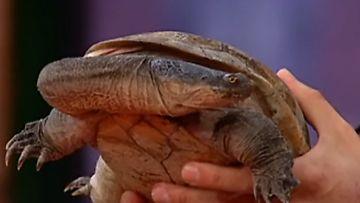 Käärmeenkaulakilpikonna