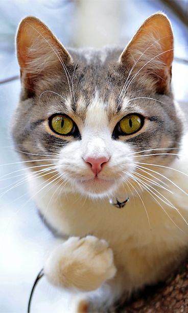 Kissa Oksentaa Karvapalloja