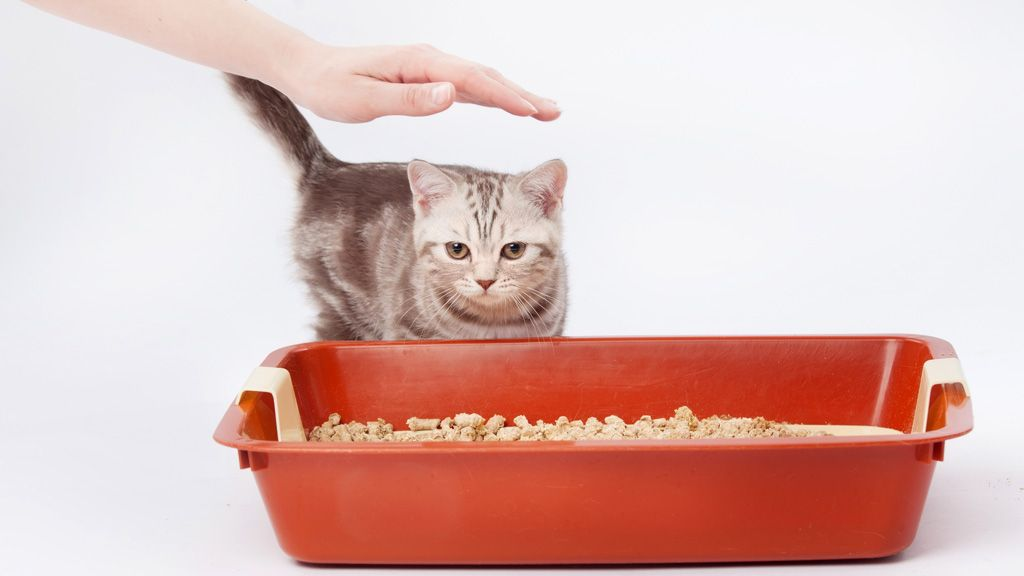 Kissa Kilpirauhasen Liikatoiminta